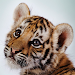 Download Amazing Tigers Wallpapers 3.1 APK