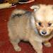 Download German Spitz Dogs Puzzles 1.0 APK