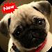 Download Pug wallpaper 1.1 APK