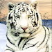 Download Wild White Tiger: Jungle Hunt  APK